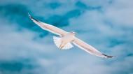 天空中飞翔的海鸥图片(14张)