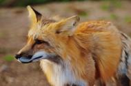 可爱狐狸图片(14张)