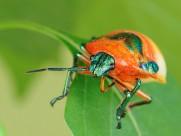 黄金龟甲虫图片(14张)