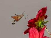 蜂鸟鹰蛾图片(9张)