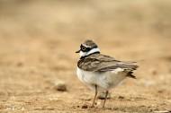 金眶鸻鸟类图片(5张)