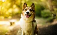 呆萌的柯基犬图片(6张)