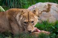 雌性狮子图片(8张)