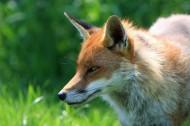 狐狸头部特写图片(9张)