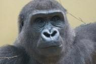 搞怪有趣的大猩猩图片(17张)