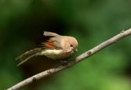 棕头鸦雀鸟类图片(9张)