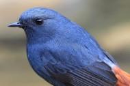 红尾水鸲鸟类图片(14张)