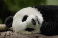 可爱无敌的大熊猫图片(15张)