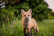 可爱的狐狸图片(13张)