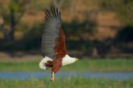 吼海雕鸟类图片(9张)