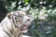 白色老虎图片(10张)