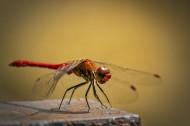 各种各样的蜻蜓图片(12张)