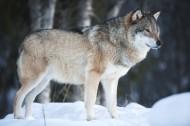 雪地里的狼图片(9张)