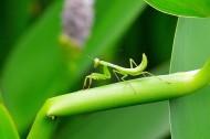 螳螂图片(9张)