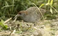 蓝胸秧鸡鸟类图片(13张)
