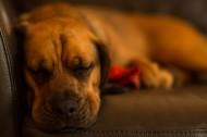 正在睡觉的狗狗图片(11张)