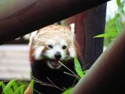 活泼可爱的小熊猫图片(13张)