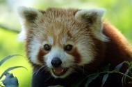 可爱的小熊猫图片(12张)