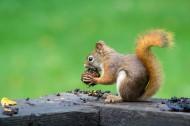 可爱的小松鼠图片(13张)