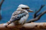 笑翠鸟图片(9张)