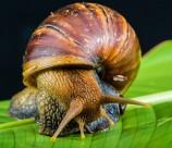 危害极大的非洲大蜗牛图片(15张)