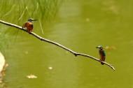 一对小翠鸟图片(8张)