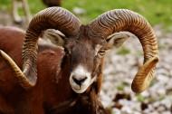 矫健温顺的羚羊图片(14张)