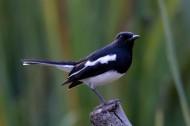 枝头的鹊鸲图片(10张)