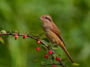 红尾伯劳鸟图片(13张)