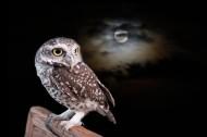 黑夜中猫头鹰图片(9张)