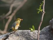相思鸟图片(9张)