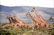 野生动物长颈鹿图片(10张)