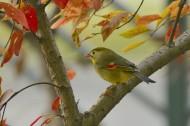 红嘴相思鸟图片(8张)