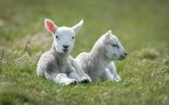 绵羊图片(5张)