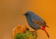 红尾水鸲鸟类图片(4张)