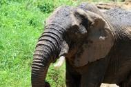非洲大象图片(18张)