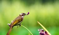 快乐的白头鹎鸟类图片(7张)