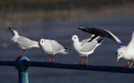 文静的海鸥图片(6张)