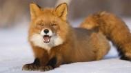 红狐的图片(16张)
