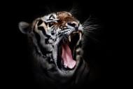 凶猛的老虎图片(11张)