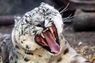 雪豹图片(11张)