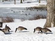 喜集群的加拿大黑雁图片(15张)
