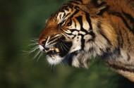老虎高清近照图片(8张)