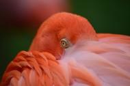 毛色艳丽的火烈鸟图片(10张)