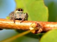 跳蛛图片(13张)