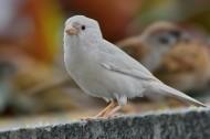 白麻雀图片(8张)