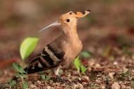 戴胜/以色列国鸟图片(5张)