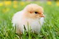 毛绒绒的雏鸡图片(11张)