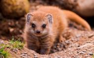 可爱的猫鼬图片(17张)