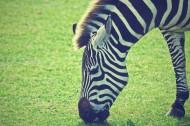 一匹好看的斑马图片(13张)
